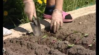 Смотреть онлайн Правила посадки свеклы, советы садоводам