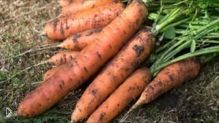 Смотреть онлайн Условия посева моркови под зиму