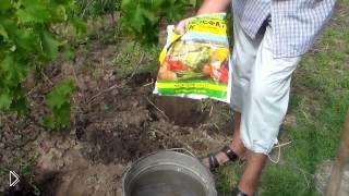 Смотреть онлайн Как ухаживать за виноградом после цветения