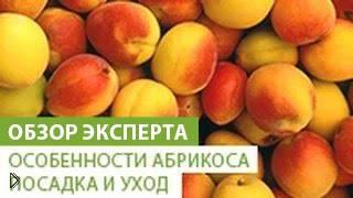 Смотреть онлайн Как садить дерево абрикоса и ухаживать за ним