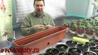 Смотреть онлайн Как посеять семена капусты