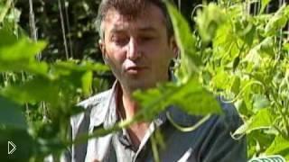 Смотреть онлайн Особенности роста огурцов в открытом грунте
