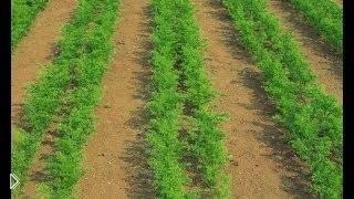 Смотреть онлайн Рекомендации по посадке моркови