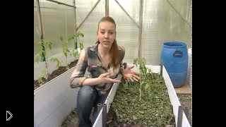 Рекомендации по посадке томатов в теплицу - Видео онлайн