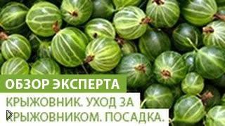 Смотреть онлайн Советы огородникам: посадка крыжовника и уход за ним