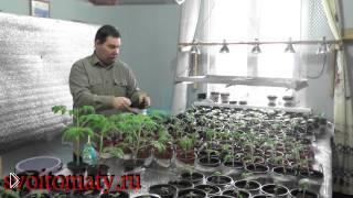 Смотреть онлайн Как ухаживать за рассадой помидоров