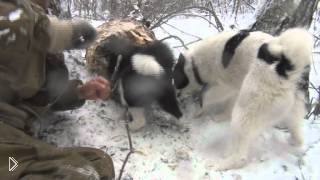 Смотреть онлайн Зимняя охота на куницу с собаками