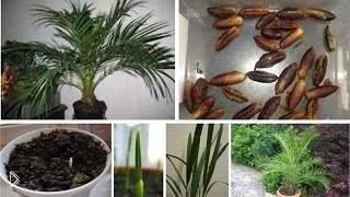 Смотреть онлайн Выращивание финиковой пальмы из косточки