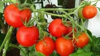Смотреть онлайн Выращивание помидоров в домашних условиях