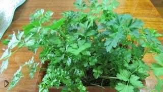 Смотреть онлайн Как из корней петрушки вырастить зелень дома
