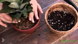 Смотреть онлайн Как вырастить ананас в домашних условиях