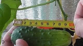 Смотреть онлайн Как вырастить огурцы на подоконнике или балконе