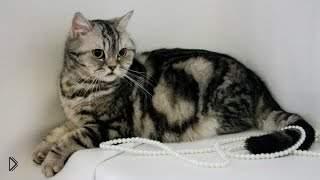 Смотреть онлайн Как ухаживать за кошками породы скоттиш страйт