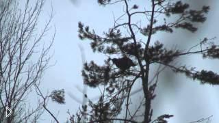 Смотреть онлайн Особенности охоты на лося с лайкой зимой