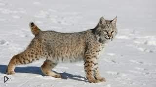 Смотреть онлайн Кот увидел рысь и начал рычать