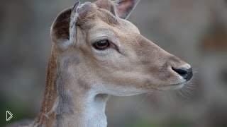 Смотреть онлайн Урок охоты на лань