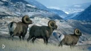 Смотреть онлайн Охота на дикого горного барана Кри Кри