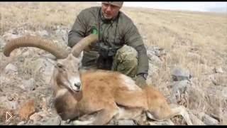 Смотреть онлайн Охота на муфлона (барана)