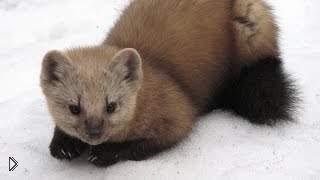 Смотреть онлайн Правила охоты на сибирского соболя