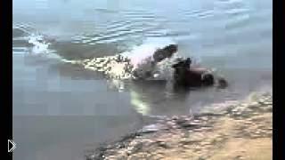 Смотреть онлайн Крокодил нападает на собаку и съедает