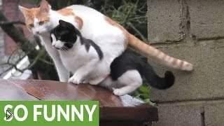 Смотреть онлайн Два кота синхронно прыгают на забор