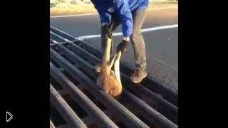 Смотреть онлайн Спасение кенгуру, который застрял