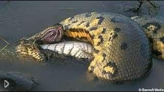 Смотреть онлайн Подборка: Змеи нападают на людей