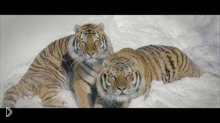 Смотреть онлайн Диких тигров записали на дрон