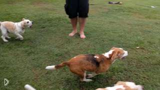 Смотреть онлайн Собаки гоняются за радиоуправляемой машинкой