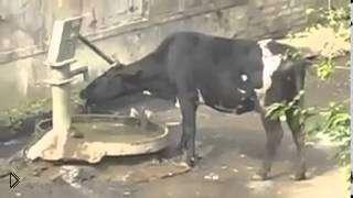 Смотреть онлайн Подборка приколов про психованных коров