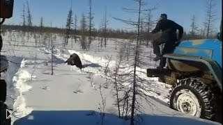 Смотреть онлайн В Якутии люди задавили медведя машиной