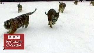 Смотреть онлайн Амурские тигры поймали летающий квадрокоптер