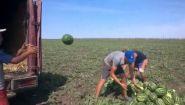 Смотреть онлайн Как происходит сбор арбузов