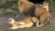 Секс у львов: как выглядит - Видео онлайн
