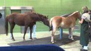 Смотреть онлайн Как собирают сперму у коней