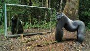 Смотреть онлайн Реакция животных в лесу на свое отражение в зеркале
