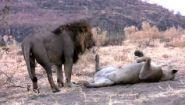 Смотреть онлайн Как спариваются львы со львицами