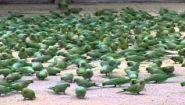 Смотреть онлайн Вы никогда не видели столько попугаев