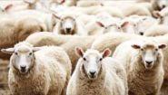 Смотреть онлайн Басня: Волки и овцы