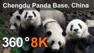 Смотреть онлайн Посмотрите на панд в заповеднике в качестве 8К