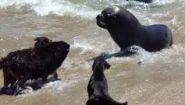 Морские львы и собаки что-то не поделили - Видео онлайн
