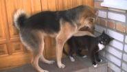 Смотреть онлайн Молодой пёс хочет драться с котом