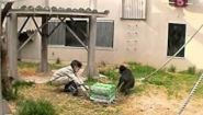 Смотреть онлайн Изучаем психологию поведения шимпанзе