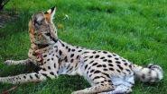 Смотреть онлайн Как выглядит домашняя кошка породы «сервал»