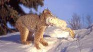 Смотреть онлайн Дикая рысь поймала белого зайца в лесу