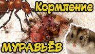 Можно ли кормить муравьев мясом - Видео онлайн