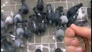 Как поймать голубя уличного - Видео онлайн