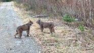 Смотреть онлайн Две рыси ругаются в дикой природе