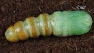 Смотреть онлайн Как рождается гусеница и как она превращается в бабочку