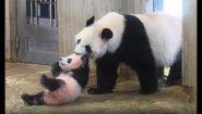Смотреть онлайн Как живут панды в зоопарке